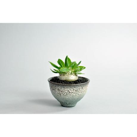 Pachypodium brevicaule 恵比寿笑い seedling