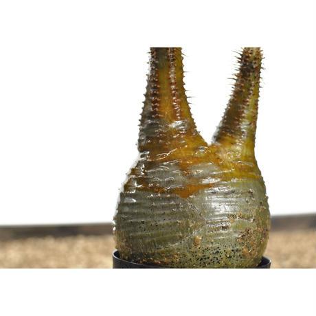 Pachypodium rosulatum var. gracilius〈幹幅7.4cm〉