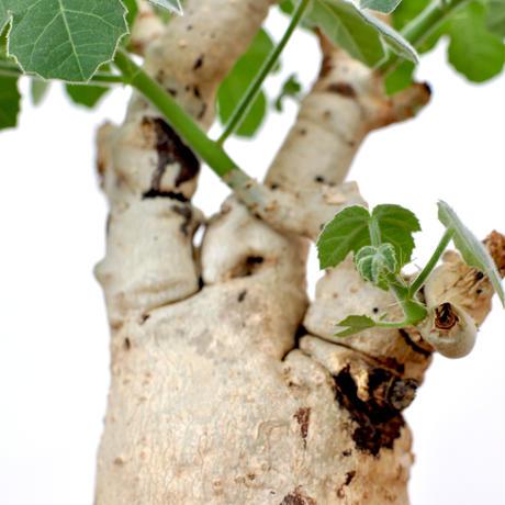 Jatropha spicata