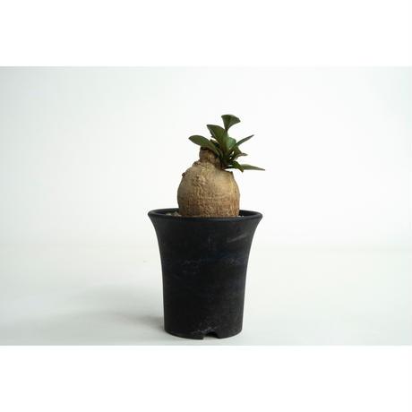 Euphorbia subapoda no.0109034