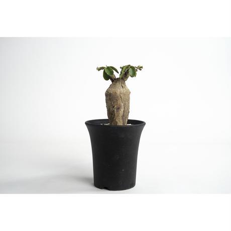Euphorbia subapoda no.0109032
