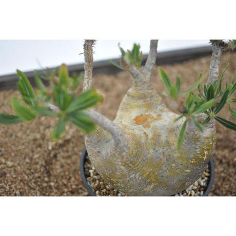 Pachypodium rosulatum var. gracilius 〈幹幅17.7cm〉
