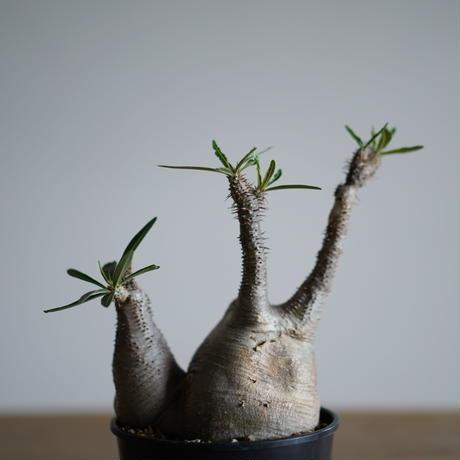 Pachypodium rosulatum var. gracilius〈幹幅12.0cm〉
