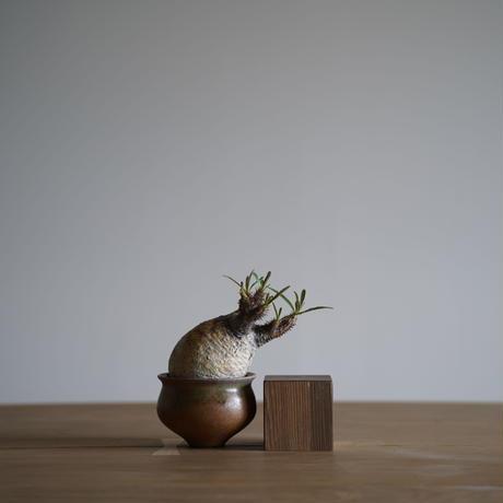 Pachypodium rosulatum var. gracilius × Tomoharu Nakagawa植木鉢〈幹幅7.7cm〉