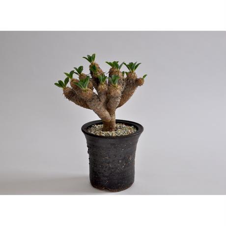 Euphorbia guillauminiana     no.0106271