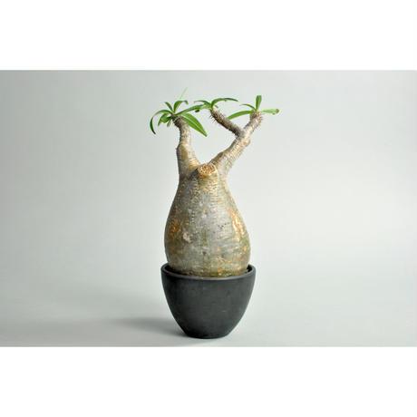 Pachypodium rosulatum var. gracilius no.0109141