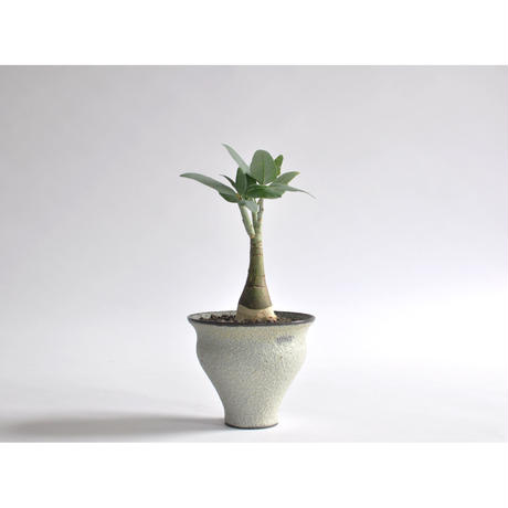Adenia pechuelii × Tomoharu Nakagawa植木鉢