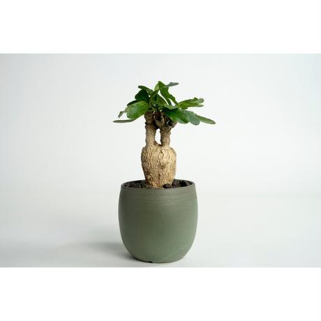 Euphorbia subapoda no.0109033