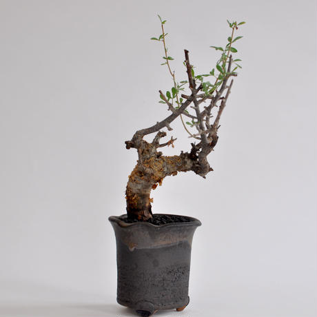 Commiphora foliacea