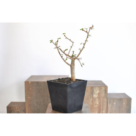 Commiphora capensis