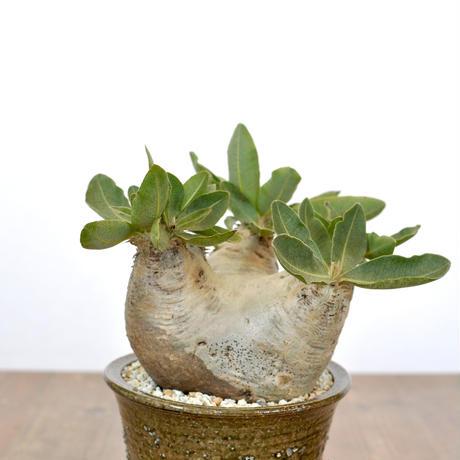 Pachypodium rosulatum var. eburneum