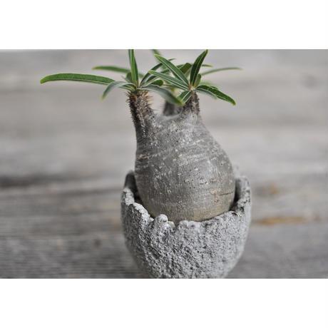 Pachypodium rosulatum var. gracilius × Tomoharu Nakagawa植木鉢〈幹幅5.7cm〉