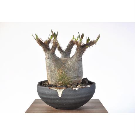 Pachypodium rosulatum var. gracilius  3103271