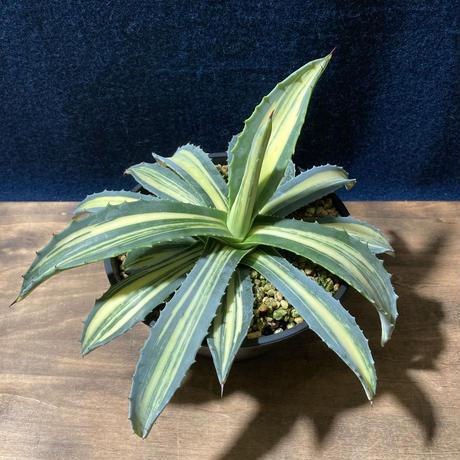 アガベ アメリカーナ 縞黄斑 Agave americana f.striata