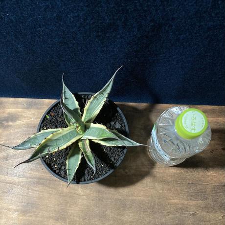 アガベ ザルケンシス錦 白黄覆輪 Agave scabra v.zarucensis f. aureo marginata