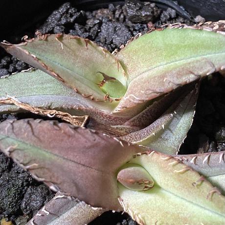 アガベ チタノータ 石化(いしか) Agave titanota f.caespitosa   分け株