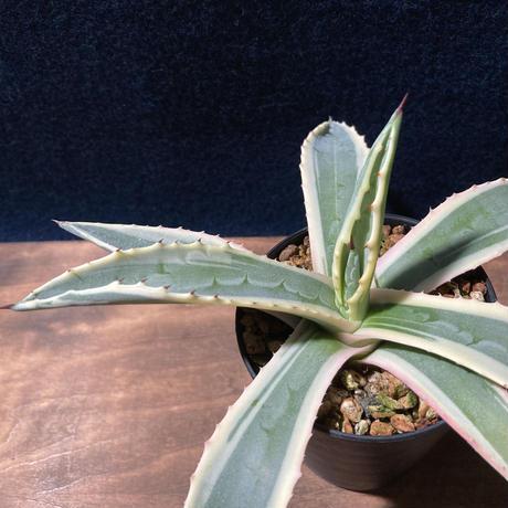 アガベ アメリカーナ 覆輪 Agave americana f.marginata