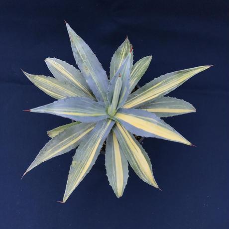 アガベ  アメリカーナ 縞黄斑/ Agave  americana
