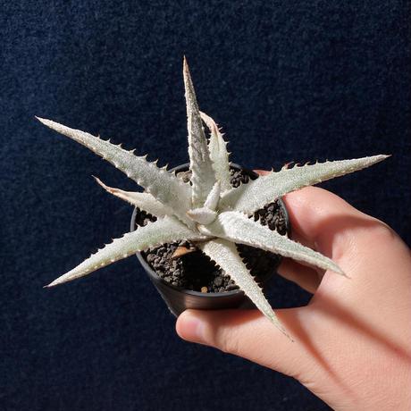 ヘクチア マルニエラポストレイ Hechtia marnier-lapostollei