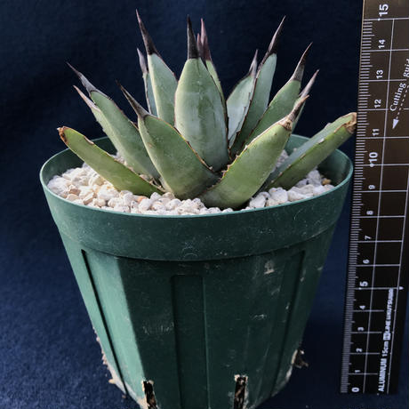 アガベ  リトルシャーク   Agave macroacantha  'Little Shark'