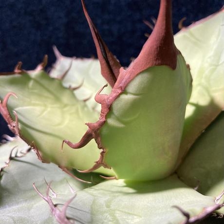 アガベ チタノータ 石化(いしか) Agave titanota f.caespitosa