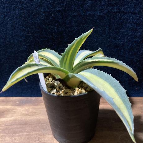 アガベ 琥珀竜 Agave americana f.mediopicta aurea