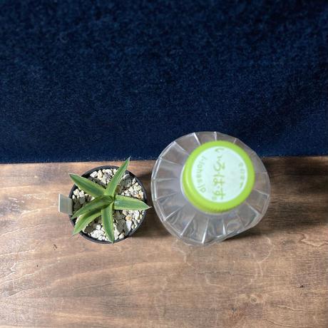アガベ 笹の雪  濃覆輪  2号鉢