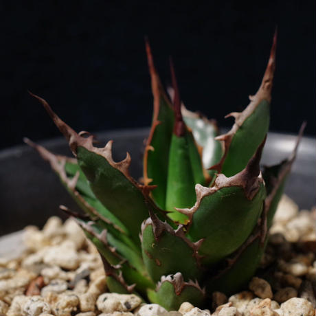 アガベ ギルベイ 極美株 Agave horrida ssp. gilbeyi