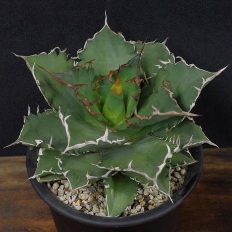 アガベ チタノータ Agave titanota