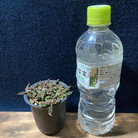 ユーフォルビア デカリー アンバトメナ現地種子の実生株の実生株 Euphorbia decaryi Ambatomena,Madagascar