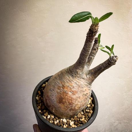 パキポディウム グラキリス(6) Pachypodium rosulatum var.gracilius
