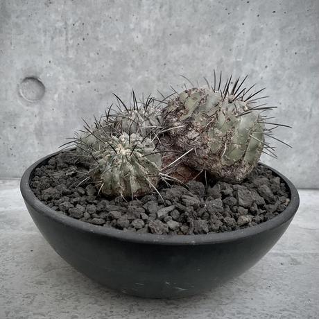 群生 コピアポア 黒士冠 Copiapoa cinerea var. dealbata