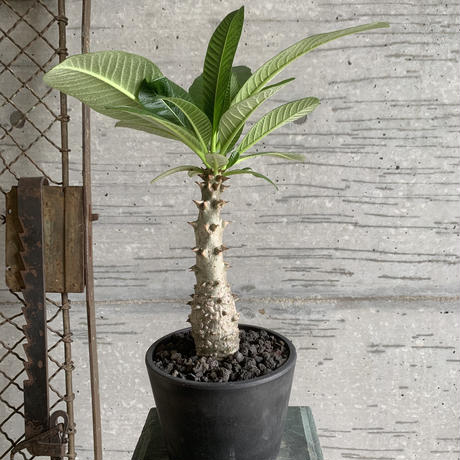pachypodium baronii var windsorii 中
