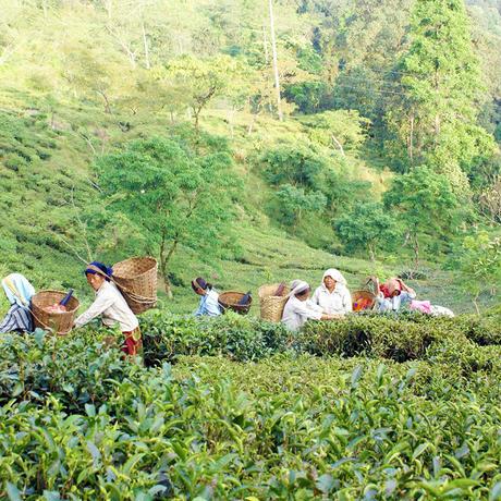 紅茶 ピュア ダージリン 100g Darjeeling