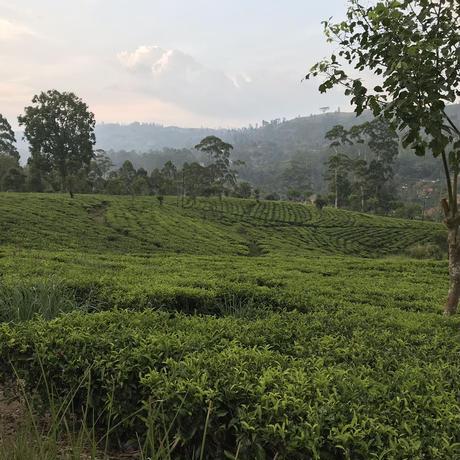 紅茶 キャンディー 100g 【ハランガラ茶園】 2021年  新茶 Kandy