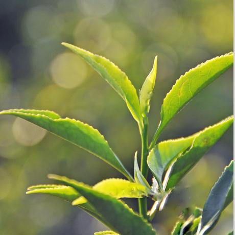 紅茶 ディンブラ 50g 【グレートウエスタン茶園 】 2021年  新茶  Dimbula