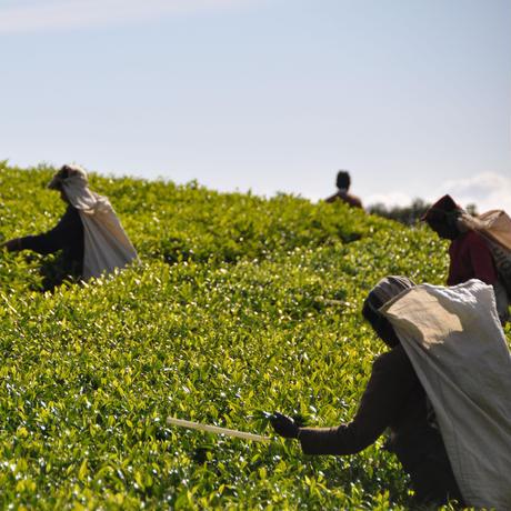 紅茶 ディンブラ 100g 【サマセット茶園 SA】 2021年  新茶  Dimbula