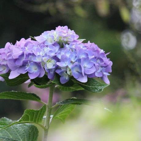 四季咲きアジサイ 霧島の恵