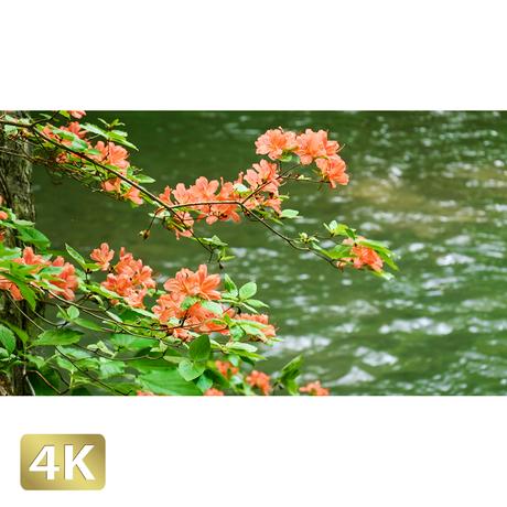 1035008 ■ 奥入瀬渓流 渓流 ツツジ