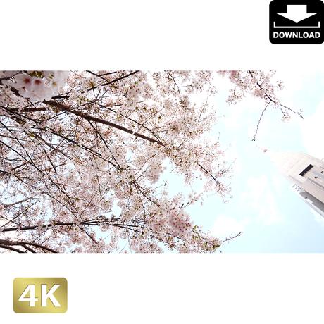 2032025 ■ 花見 桜