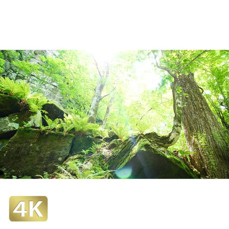 1035011 ■ 奥入瀬渓流 渓流 樹木