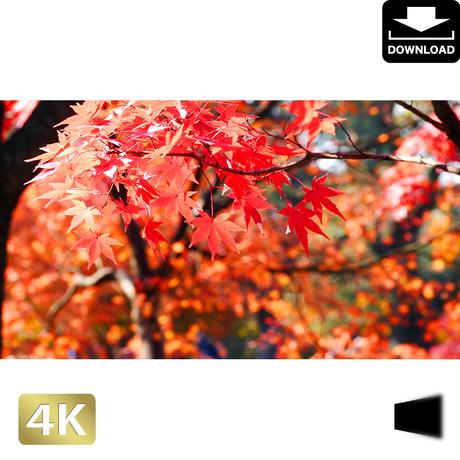 2043014 ■ 京都 東寺の紅葉
