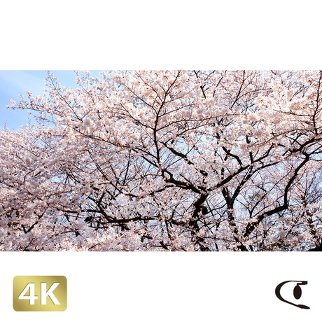 1032001 ■ 桜 千鳥ヶ淵