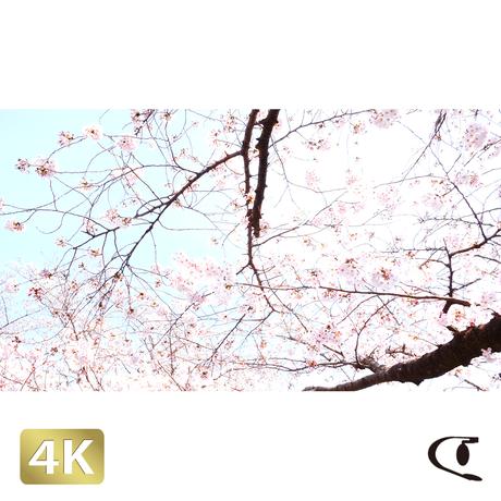 1032000 ■ 桜 増上寺