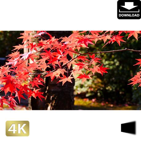 2043013 ■ 京都 東寺の紅葉