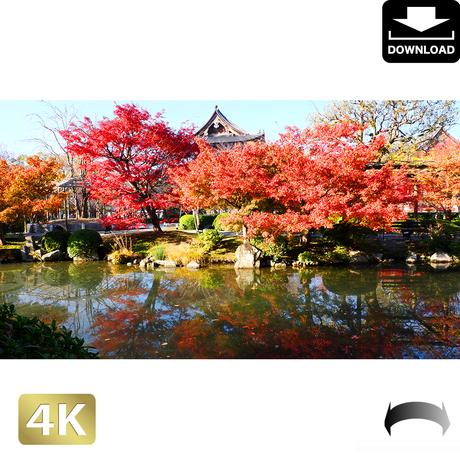 2043003 ■ 京都 東寺の紅葉