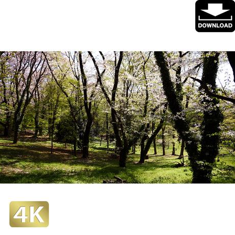 2032027 ■ 花見 桜