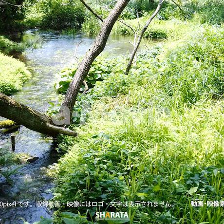 1033055 ■ 柿田川 清流