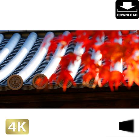 2043011 ■ 京都 東寺の紅葉