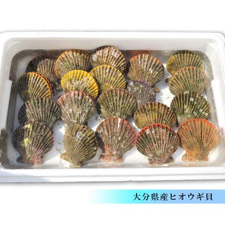 活きヒオウギ貝 20枚 大分県産 市場直送 ひおうぎ貝 緋扇貝 冷蔵